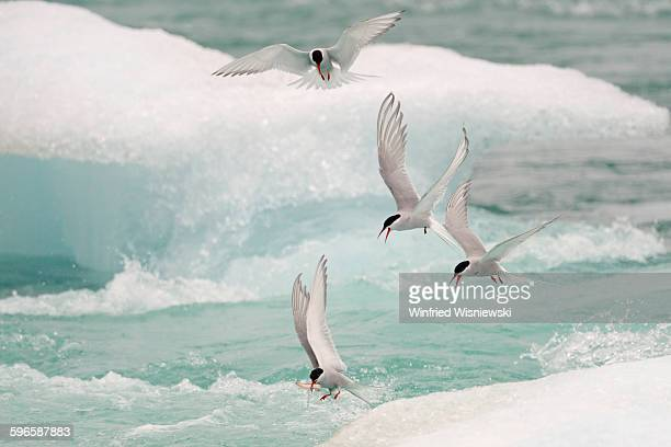Arctic tern of Iceland