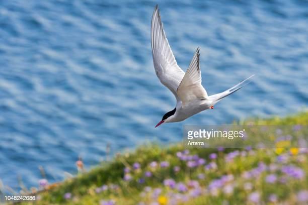 Arctic tern skimming over sea cliff top along the Scottish coast Scotland UK