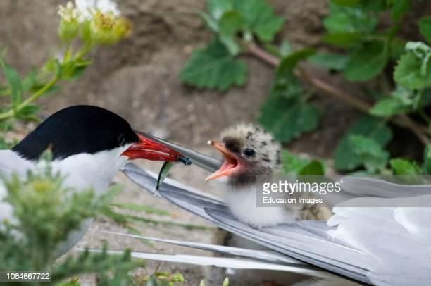 Arctic Tern Sterna paradisaea feeding chick Inner Farne Northumberland UK