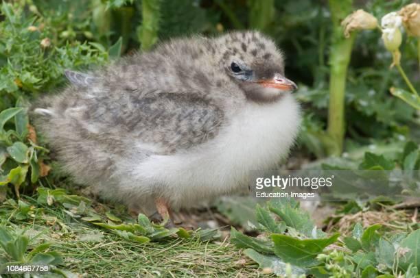 Arctic Tern Sterna paradisaea fledgling Inner Farne Northumberland