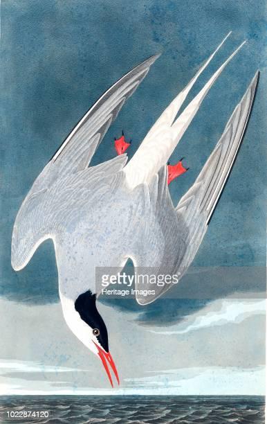 Arctic Tern, Sterna Paradisaea. From The Birds of America by John J. Audubon. Pub. 1827-1838 .