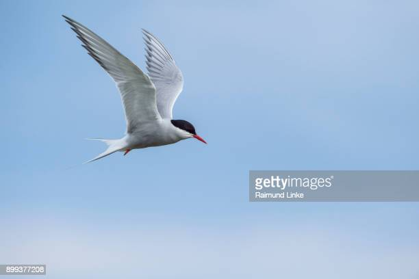 Arctic Tern, Sterna Paradisaea, in Flight, Europe