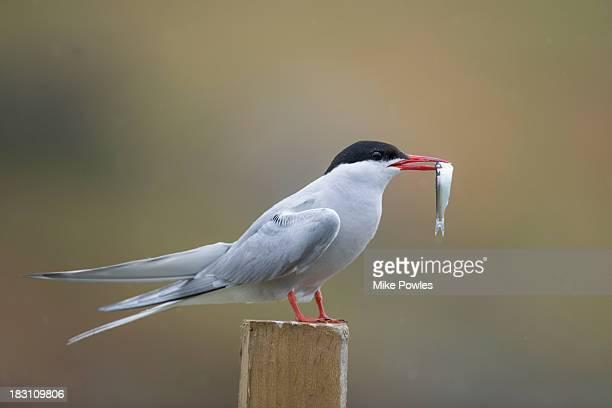 Arctic Tern with fish, Isle of May, UK