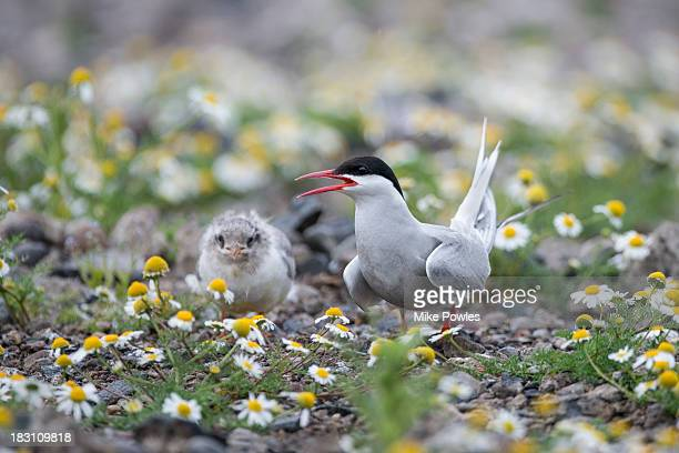 Arctic Tern with fledgling, Isle of May, UK