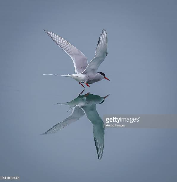 Arctic Tern wtih reflection in the water.