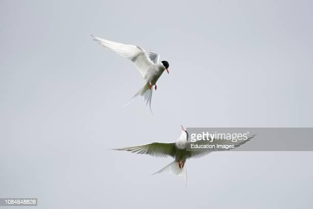 Arctic Terns Sterna paradisaea squabbling at colony Inner United Kingdom Northumberland