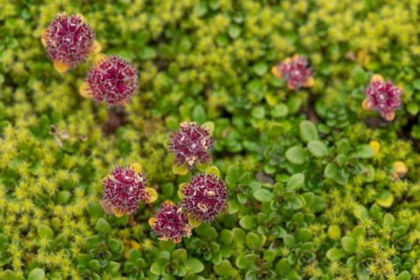 Arctic Thymus praecox (Thymus praecox ssp. arcticus), Landmannalaugar, Fjallabak, Icelandic highlands, Iceland