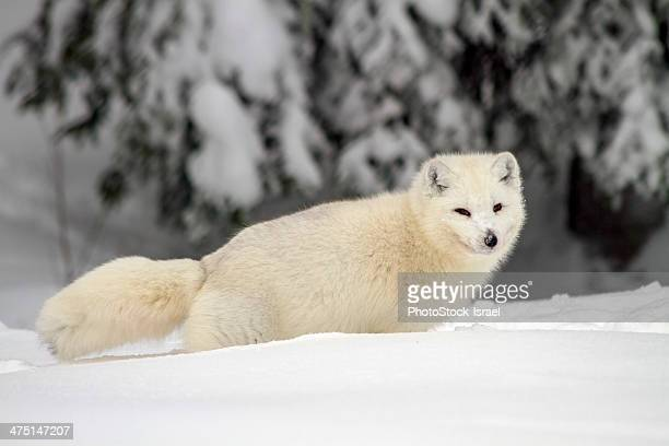 Arctic Wolf (Canis lupus arctos), also called snow wolf or white wolf, a subspecies of the gray wolf, Lapland, Sweden