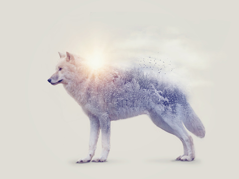 Arctic wolf and forest 918448018