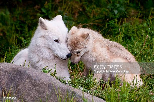 arctic wolf and pup - michael wolf stock photos and pictures