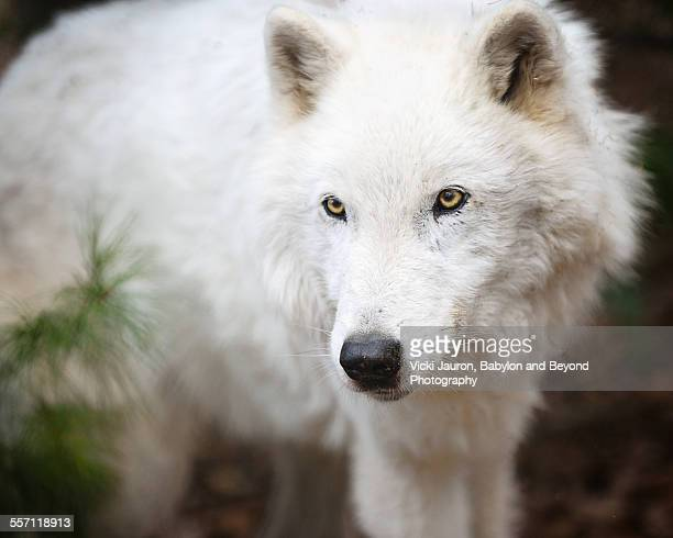 Arctic Wolf Atka at Wolf Conservation Center