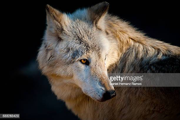 arctic wolf. canis lupus arctos - arctic wolf stock photos and pictures