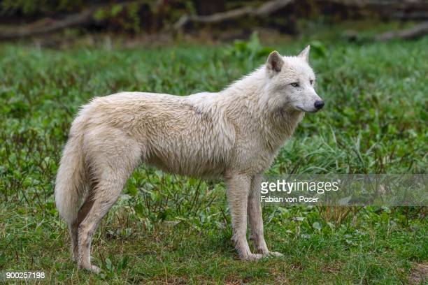 arctic wolf (canis lupus arctos), captive - loup blanc photos et images de collection