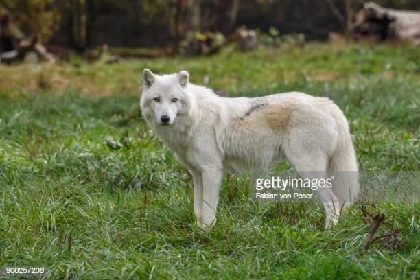Arctic Wolf (Canis lupus arctos), captive
