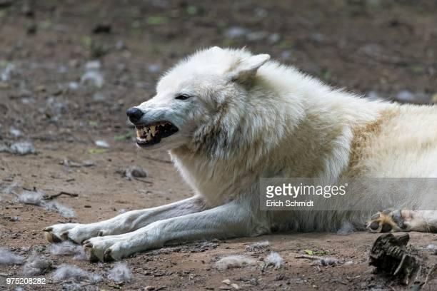 arctic wolf (canis lupus arctos) captive, snarling - loup blanc photos et images de collection