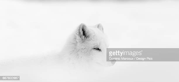 Arctic wolf (Canis lupus arctos) during a snow storm