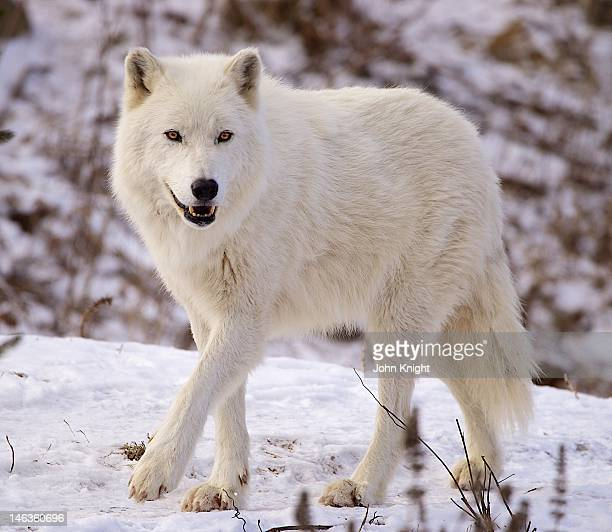 arctic wolf enjoying early spring snowfall - arctic wolf stock photos and pictures