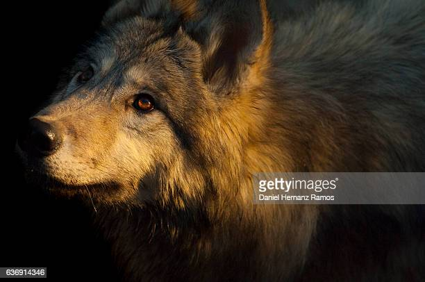 arctic wolf face close up detail with black background. wolf eyes - animal ear stock photos and pictures