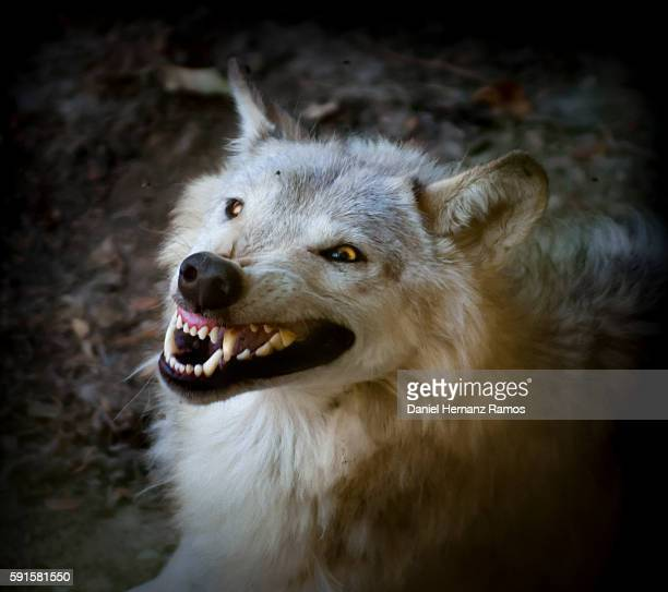 arctic wolf furious expression. angry wolf baring his fangs - fang stock pictures, royalty-free photos & images