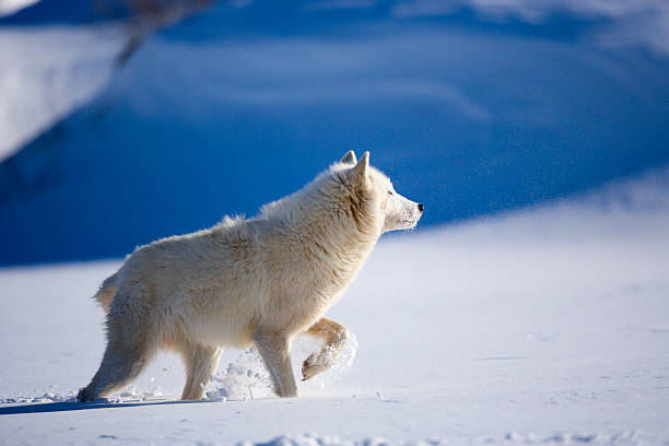Arctic wolf in deep snow of Winter.