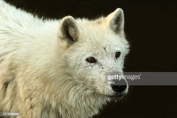 arctic wolf  isolated on black - black wolf stock pictures, royalty-free photos & images