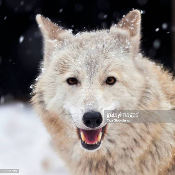 arctic wolf looking at camera - loup blanc photos et images de collection