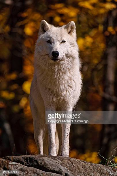 arctic wolf - michael wolf stock photos and pictures