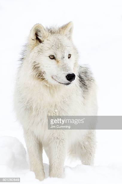 arctic wolf - arctic wolf stock photos and pictures