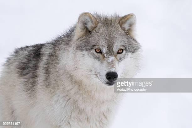 arctic wolf - loup blanc photos et images de collection