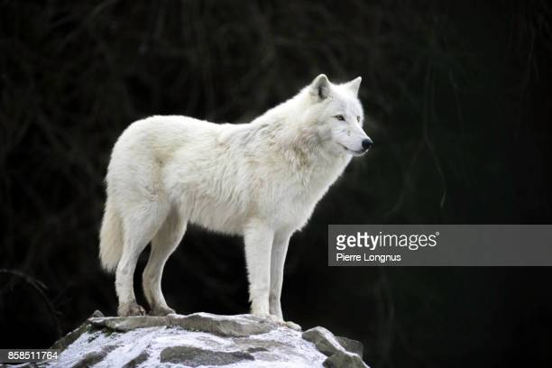 arctic wolf (canis lupus arctos) - loup blanc photos et images de collection