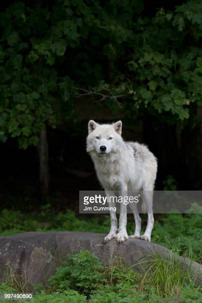 arctic wolf - loup blanc photos et images de collection