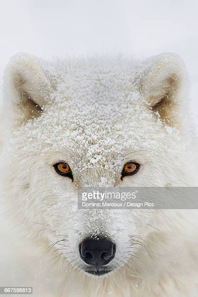 arctic wolf (canis lupus arctos) portrait - arctic wolf stock photos and pictures