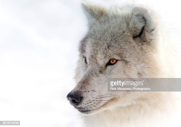 arctic wolf portrait - arctic wolf stock photos and pictures