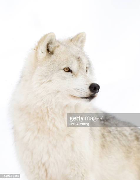 arctic wolf profile on a winter day - arctic wolf stock photos and pictures