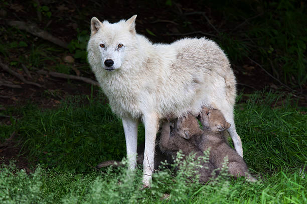 Arctic Wolf Pups Feeding Wall Art