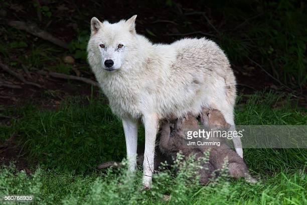 Arctic wolf pups feeding