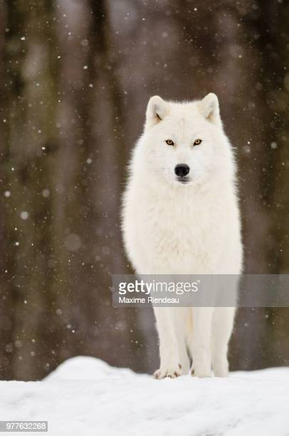 arctic wolf standing in forest, quebec, canada - loup blanc photos et images de collection