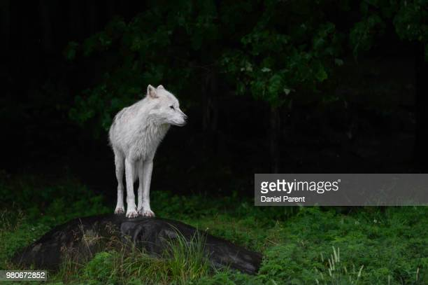 arctic wolf (canis lupus arctos) standing on rock - loup blanc photos et images de collection