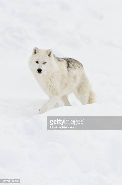 arctic wolf walking on snow in winter - loup blanc photos et images de collection