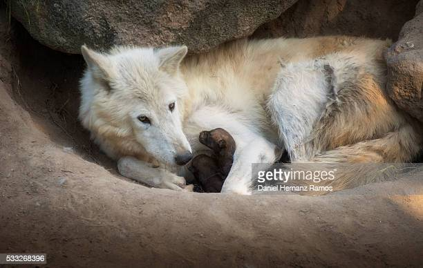 Arctic wolf with her baby