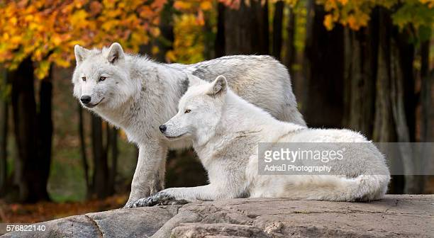 arctic wolves in fall season - loup blanc photos et images de collection