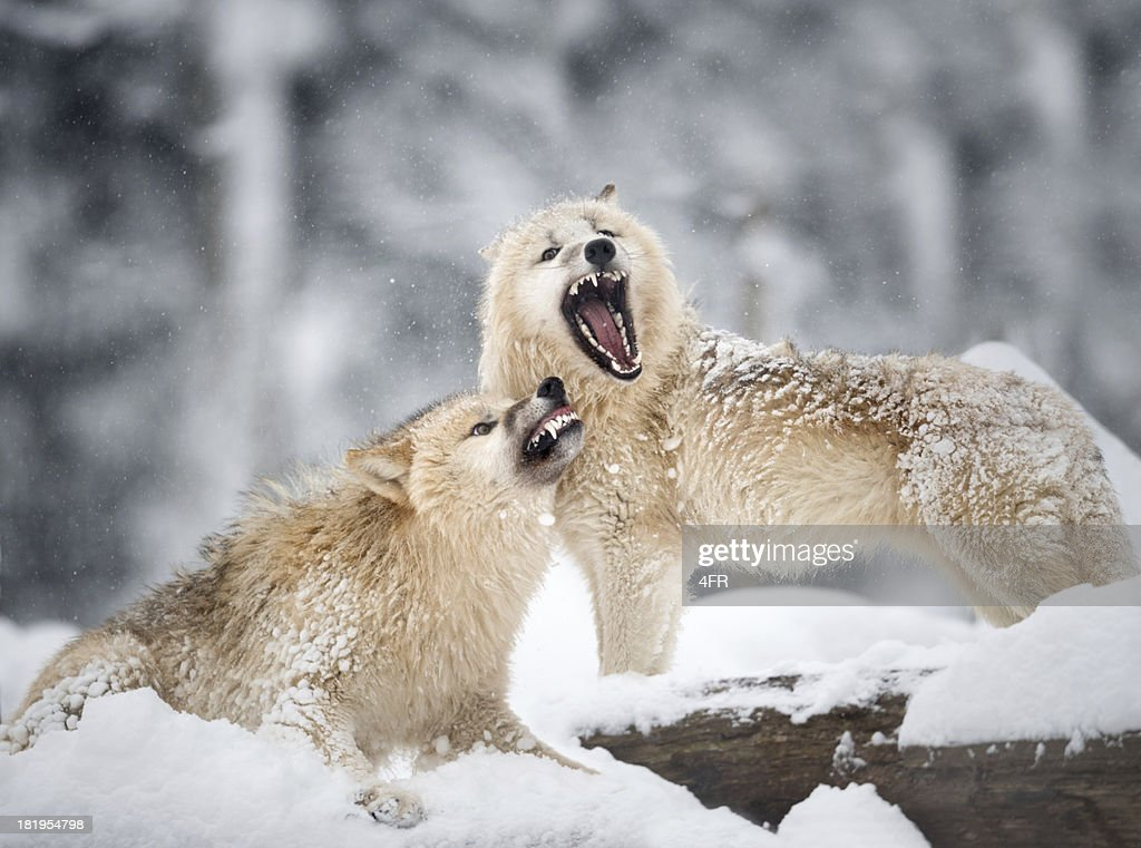 Arctic Wolves in Wildlife, Winter Forest : Stock Photo
