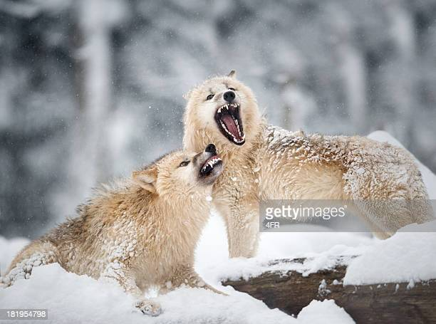 Arctic Wolves in Wildlife, Winter Forest