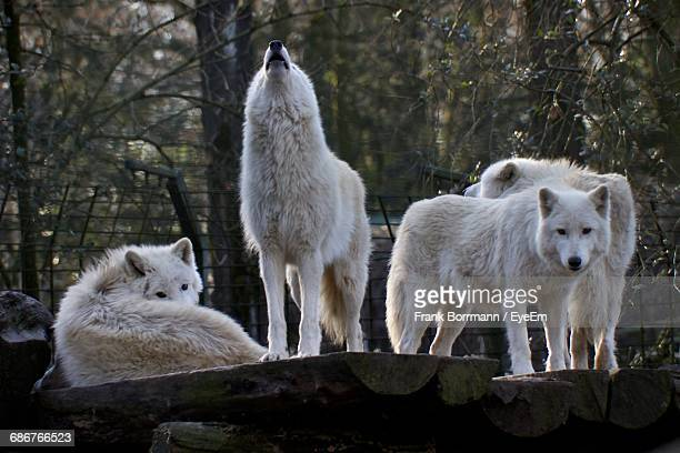arctic wolves on wood in zoo - loup blanc photos et images de collection