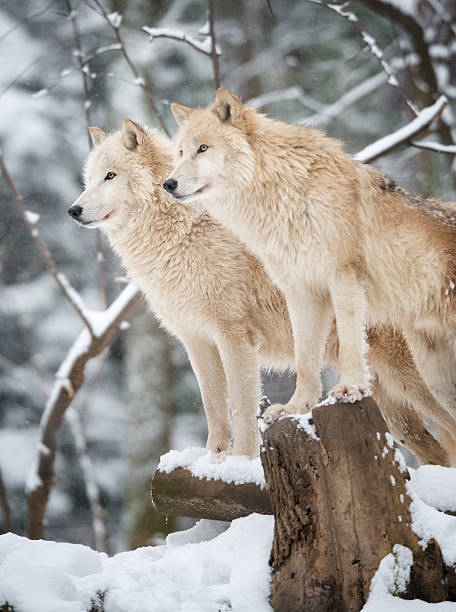Arctic Wolves Pack in Wildlife, Winter Forest