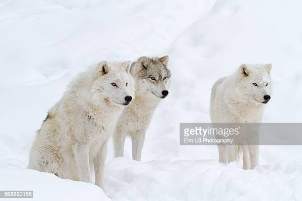 arctic wolves - arctic wolf stock photos and pictures