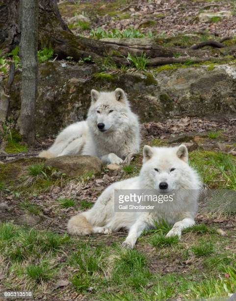 arctic wolves (two) - loup blanc photos et images de collection