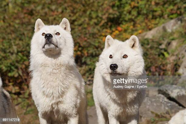 arctic wolves standing on rocks during sunny day in forest - loup blanc photos et images de collection