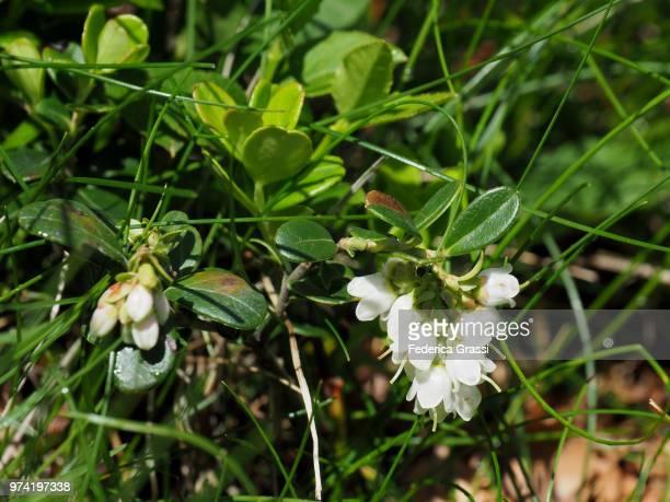 Arctostaphylos uva-ursi (Kinnikinnick or Bearberry)