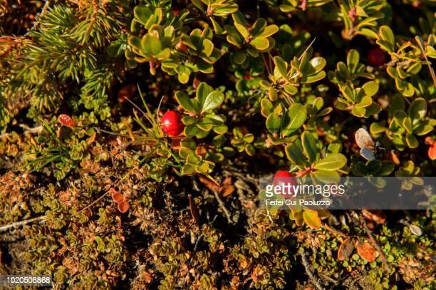 Arctostaphylos uva-ursi plant and red berry at Reykjahlíd, Myvatn, Iceland